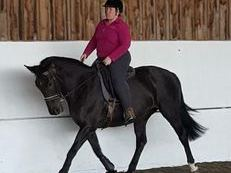 15.2 Hh Black Warmblood Mare for Loan