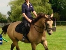 Stunning 16H 6 Year Old Dun Irish Sports Horse
