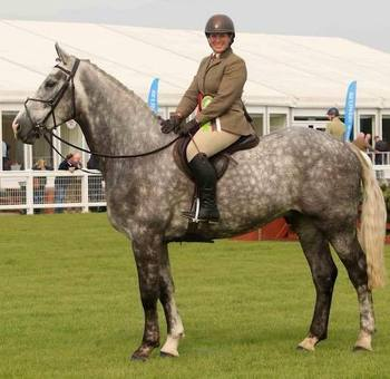 Stunning Performance Irish Draught/Heavy weight Hunter