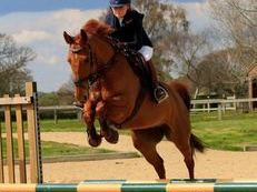 15.1hh 9yr old eye catching chestnut mare