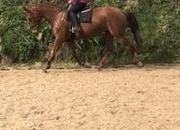 17hh 16yr Old Irish Sports Horse All-rounder