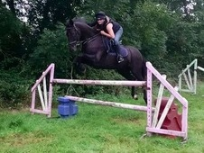 Very well bred talented Show Jumper