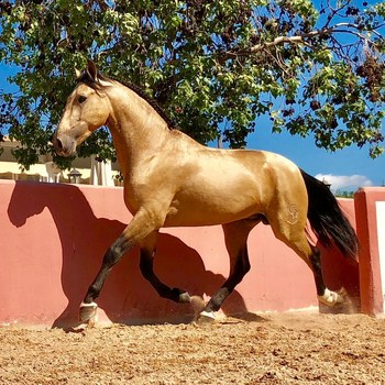 GOLDEN BOY - BREATHTAKING PRE STALLION IN SPECIAL COLOR