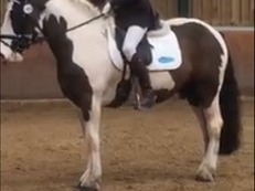 Stunning Piebald Gelding Great Confidence Giver