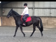 Beautiful tb gelding for loan