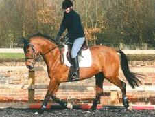TALENTED 16. 2HH KWPN
