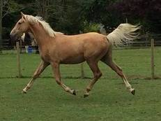 Smart Home-Bred 2015 Palomino Gelding