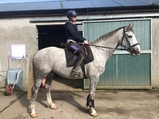 REDUCED! ! Stunning 16. 2hh Hunter/All-Rounder/Riding Club