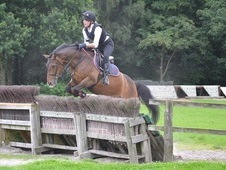 14hh new forest gelding for sale