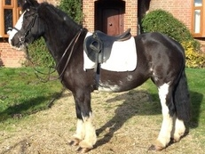 Beautiful Irish Cob Mare Allrounder