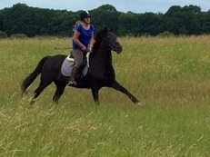 Sharer Required for 16hh Warmblood