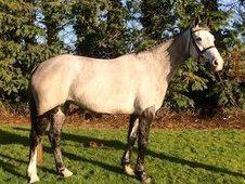 ***15. 3hh All rounder/eventer***