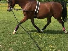 Lovely Arabian 15.1 Pure Bred Gelding
