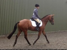Hack/low level dressage/broodmare