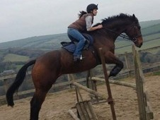 Handsome hunter gelding