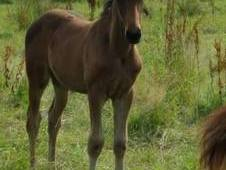 Top quality filly foal