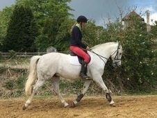 Beautiful Andalusian x connemara 14. 2hh