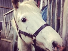 15hh gelding for loan / share
