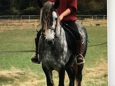 15hh Andalusian mare for sale