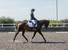 16.1hh 9year old TB Mare