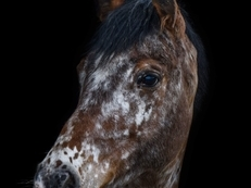For Sale my Beautiful Part Breed Appaloosa Mare *REDUCED*