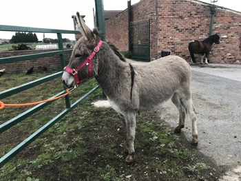 Adel-mai light brown 3 year old jenny