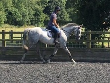 Handsome grey gelding with huge potential