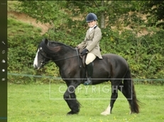 Super little compact Gelding 14hh