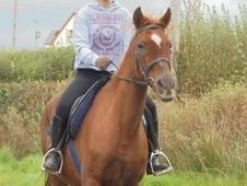16hh Anglo Arab 12 yr Old Mare for Lifetime Loan
