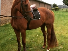 5 yr 16. 1h (will prob grow a bit more )KWPN Mare for sale