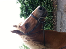 12. 2hh gelding for part or full loan! !