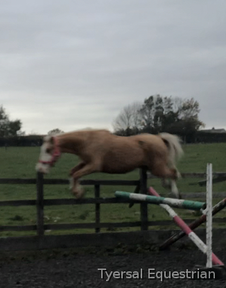 Doreena- ( Ria ) 4 YEAR OLD PALOMINO MARE