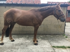16hh Unregistered Irish Draught