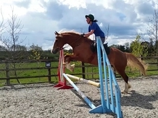 Stunning 15/15.1hh 8 year old Welsh D gelding. Chesnut with flaxen mane and tail