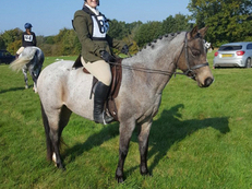 Pretty Welsh section b mare