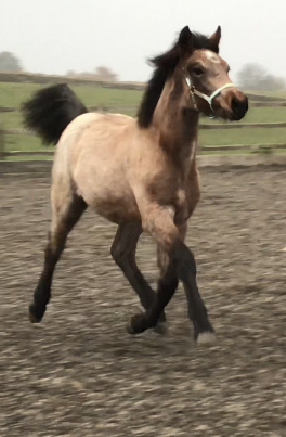 Strawberry Roan Registered Connemara Filly With 4 Black Points