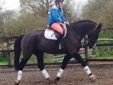 **Fun allround Gelding**