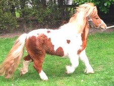 Miniature Shetland Stallion for Sale