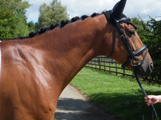 STUNNING SUPER SAFE 8YR BAY WARMBLOOD GELDING