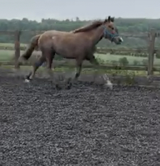 Silver Sal is by the irish draught stallion out of a 16hh draught mare
