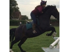 Pretty 14hh 8y/o Bay Mare with great potential.