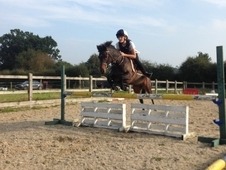 For sale Registered Welsh B mare-12 years old-13hh.