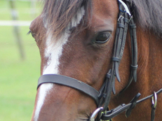 Thistle -  10 y/o Welsh secttion b mare