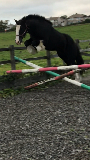 Heavy Cob 2 years  Gelding With 4 white socks