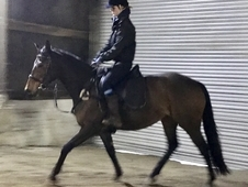 Quality 16. 1hh thoroughbred mare for sale