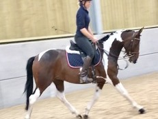 15.1hh Gorgeous Coloured Mare For Sale