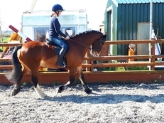 ****SOLD***** SAFE, FUN ALL ROUNDER Approx 14.2hh Bay Gelding