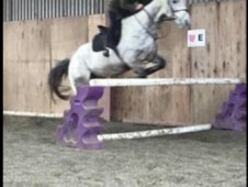 16hh Thoroughbred gelding for sale