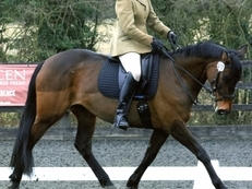 Ideal RC/Event/all round prospect 15hh Thoroughbred mare