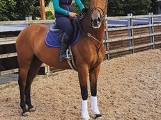 16.1 talented bay mare by CloverFlush